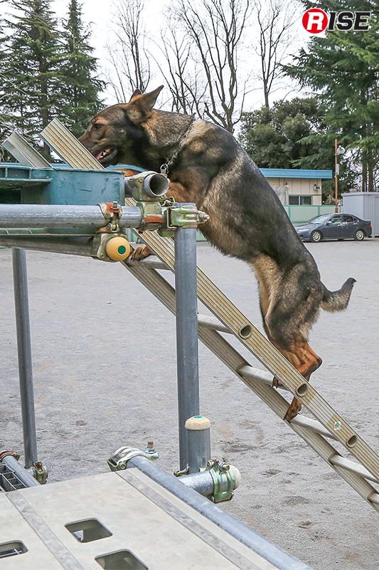 訓練を積み重ねることではしご昇降もこなせるようになる。