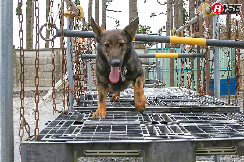 宙づりのパレット上で障害物をくぐり抜ける、不安定足場に慣れるための訓練。こうして苦手を克服することであらゆる環境での活動に対応できるようになるのはもちろん、犬のみ進入可能な環境に投入された場合も確実に脱出できるようになる。
