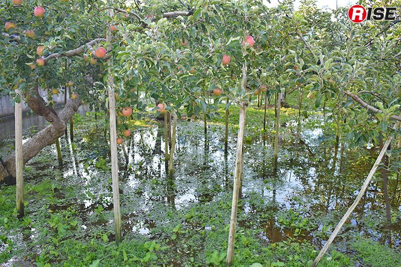 名産品のりんごも多くが浸水被害を受けた。