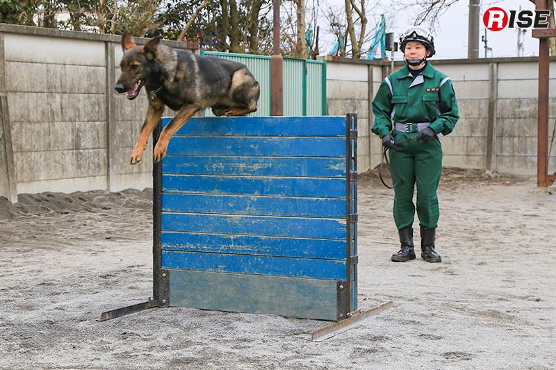 障害物踏破をイメージしたハードル越えの訓練。警備犬はハンドラーの視符(ハンドサイン)や声符(言葉による指示)を理解し、それに基づき動作を行う。