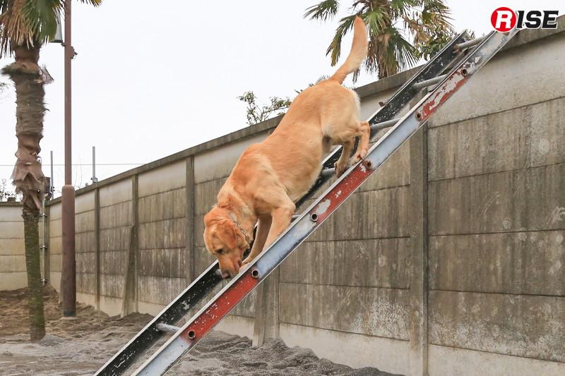 器用にバランスを取り塀の上で体勢変換し、昇りよりも難しいはしご降りを行う。